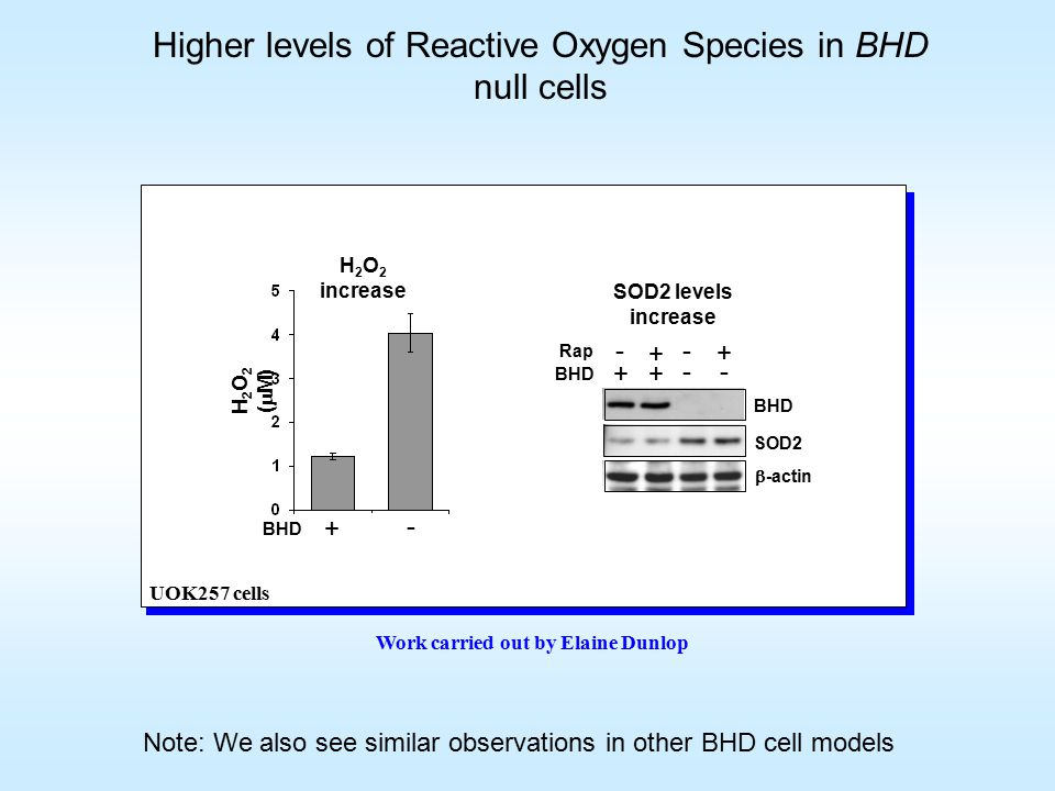 Higher levels of Reactive Oxygen Species in BHD null cells Work carried out by Elaine Dunlop + + - + - - + - BHD SOD2  -actin Rap BHD H 2 O 2 (  M) H 2 O 2 increase SOD2 levels increase + - BHD UOK257 cells Note: We also see similar observations in other BHD cell models