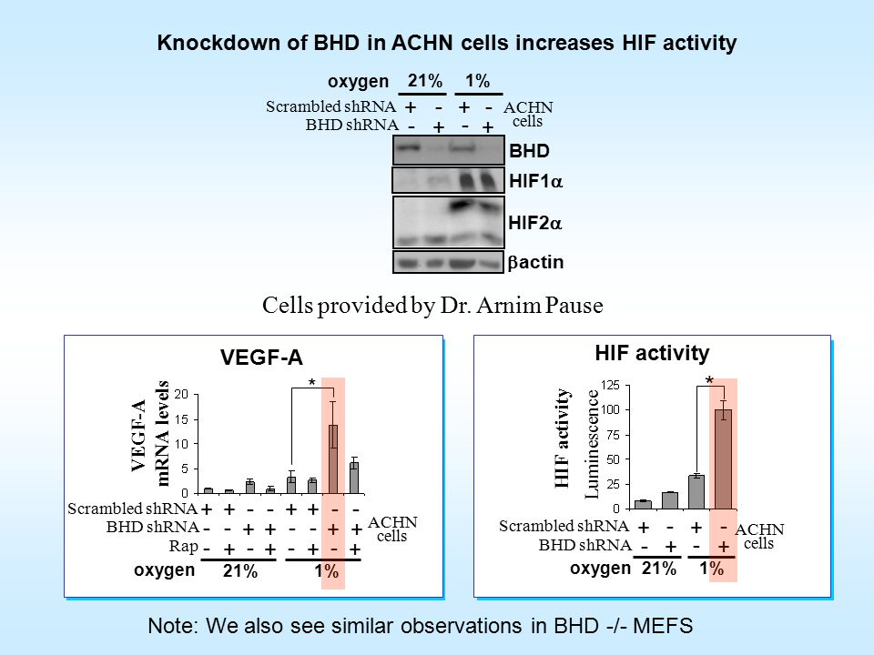 VEGF-A mRNA levels ---- ++++ Rap + -- ++ BHD shRNA - + - 21% 1% * Scrambled shRNA -- + - + - ++ Luminescence 1% 21% + - + BHD shRNA - Scrambled shRNA - + - + * HIF1  BHD HIF2  1% 21%  actin + - + BHD shRNA - Scrambled shRNA - + - + ACHN cells ACHN cells ACHN cells VEGF-A HIF activity Knockdown of BHD in ACHN cells increases HIF activity Note: We also see similar observations in BHD -/- MEFS HIF activity Cells provided by Dr.