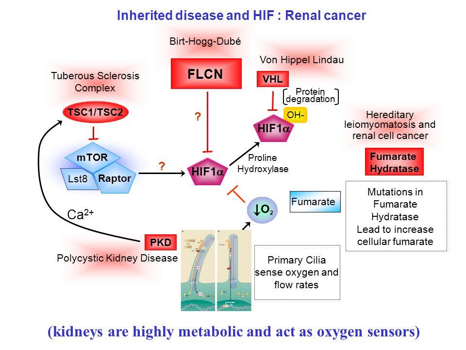 Tuberous Sclerosis Complex Birt-Hogg-Dubé Von Hippel Lindau TSC1/TSC2 OH- Raptor mTOR Lst8 Proline Hydroxylase HIF1  VHL HIF1  Protein degradation Fumarate O2O2 Mutations in Fumarate Hydratase Lead to increase cellular fumarate Fumarate Hydratase FLCN .