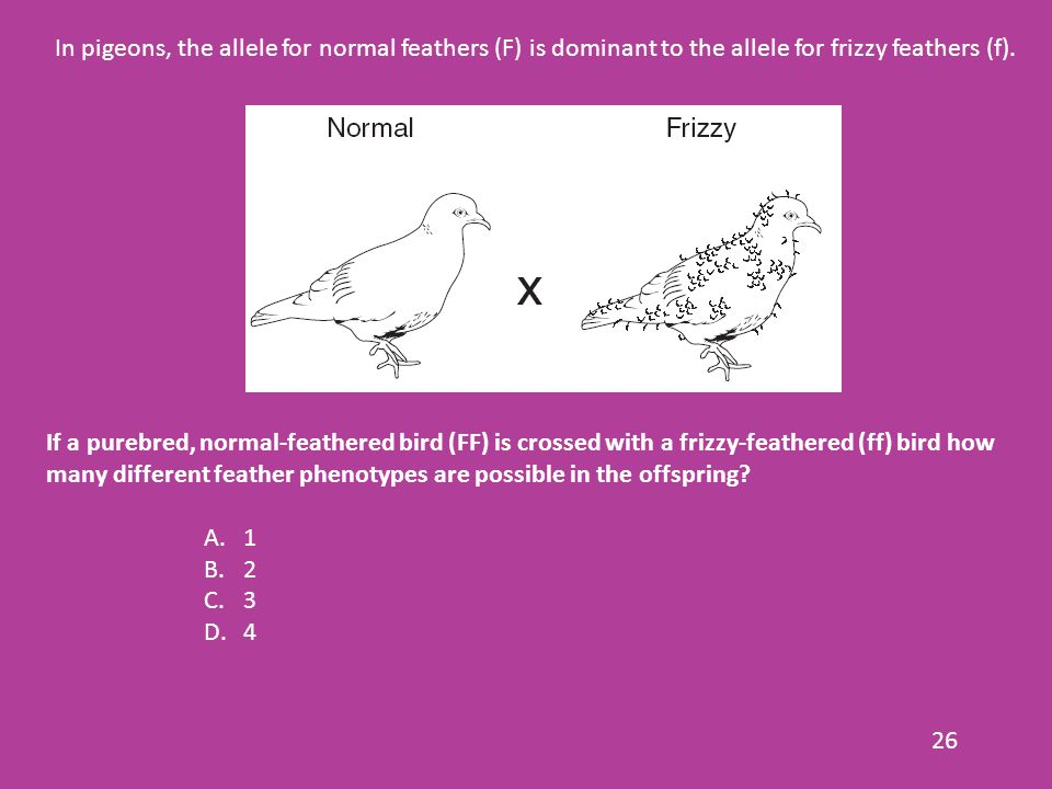 26 In pigeons, the allele for normal feathers (F) is dominant to the allele for frizzy feathers (f).
