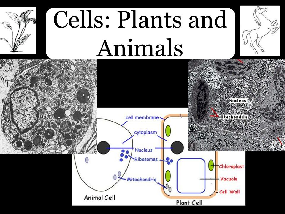 Cells: Plants and Animals