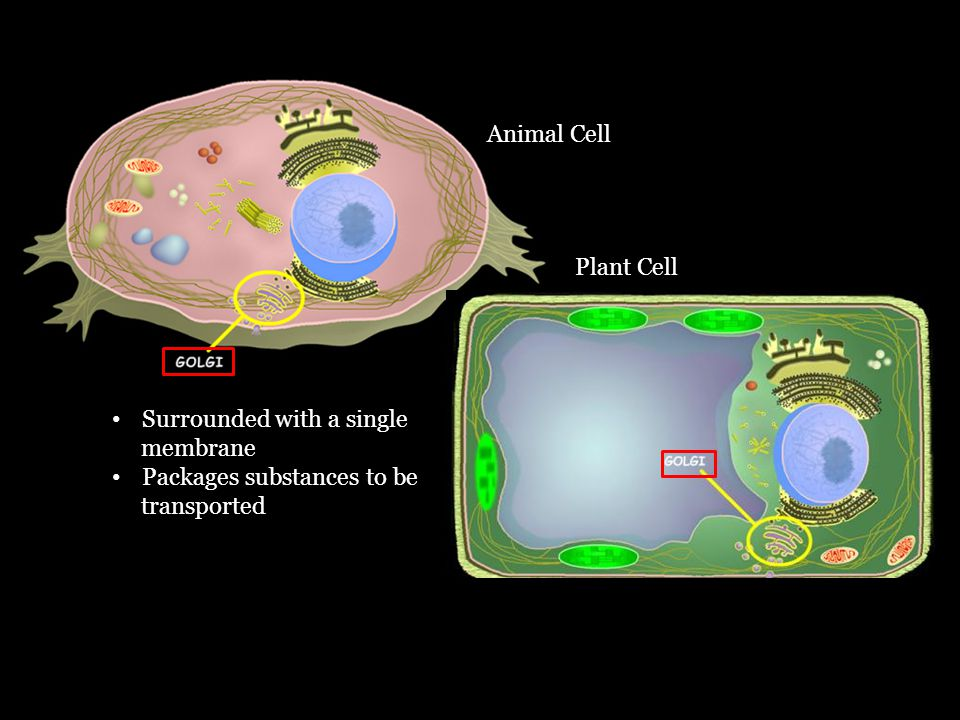 Plant Cell Animal Cell Surrounded with a single membrane Packages substances to be transported