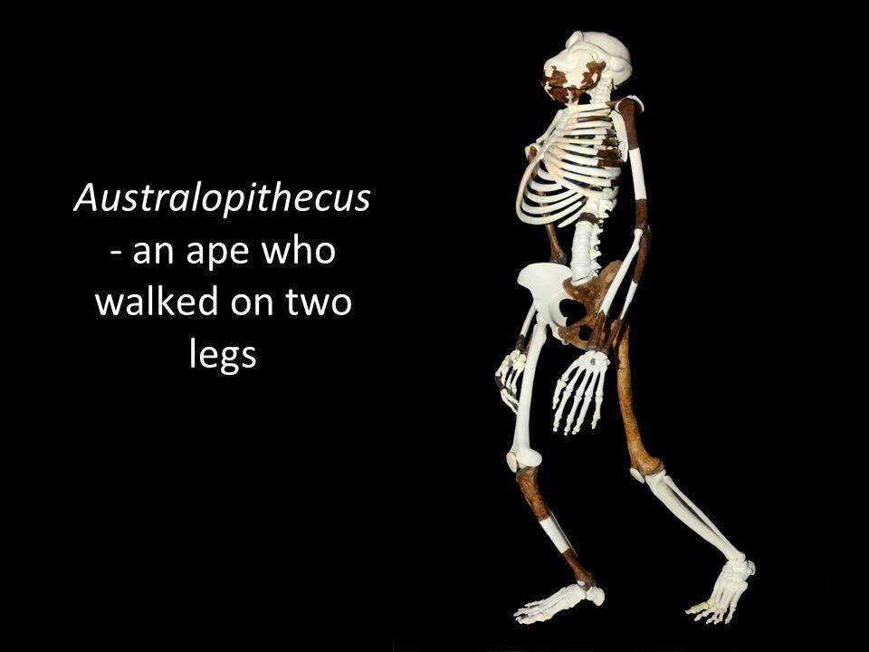 Australopithecus - an ape who walked on two legs