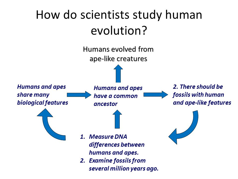 How do scientists study human evolution? HYPOTHESIS Prediction Observation Gather evidence, test with experiments THEORY Humans and apes share many bi