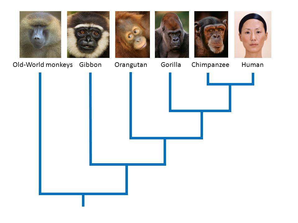 MonkeyChimpHuman 30 20 10 0 Time (million yrs ago) Allan Wilson 1934 - 1991