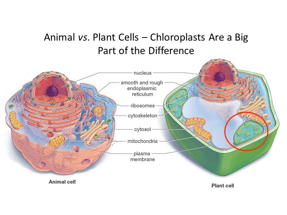 Animal vs. Plant Cells – Chloroplasts Are a Big Part of the Difference