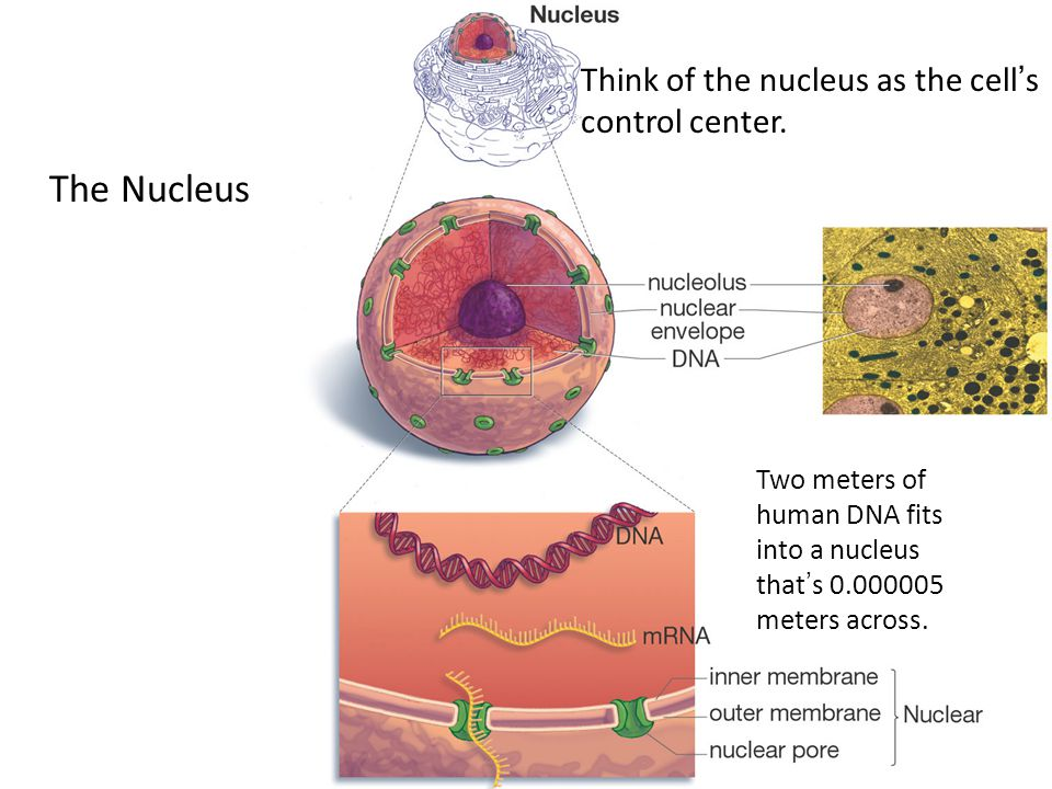 The Nucleus Think of the nucleus as the cell's control center. Two meters of human DNA fits into a nucleus that's 0.000005 meters across.