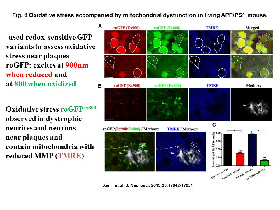 Fig. 6 Oxidative stress accompanied by mitochondrial dysfunction in living APP/PS1 mouse. Xie H et al. J. Neurosci. 2013;33:17042-17051 -used redox-se