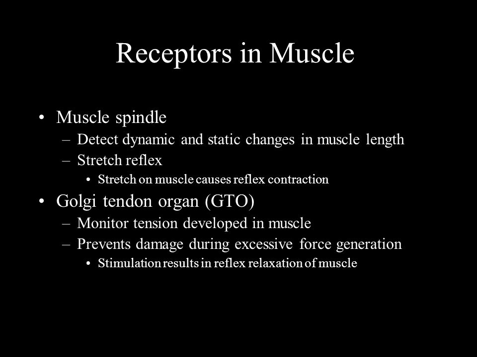 Receptors in Muscle Muscle spindle –Detect dynamic and static changes in muscle length –Stretch reflex Stretch on muscle causes reflex contraction Golgi tendon organ (GTO) –Monitor tension developed in muscle –Prevents damage during excessive force generation Stimulation results in reflex relaxation of muscle