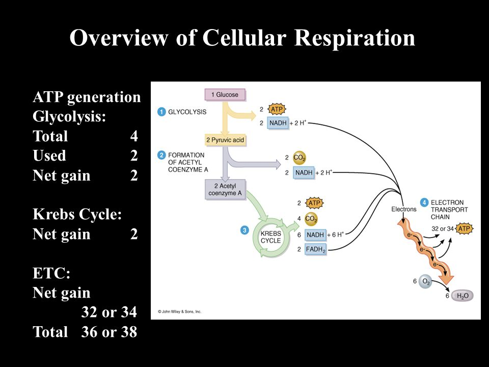 Overview of Cellular Respiration ATP generation Glycolysis: Total4 Used2 Net gain2 Krebs Cycle: Net gain2 ETC: Net gain 32 or 34 Total 36 or 38