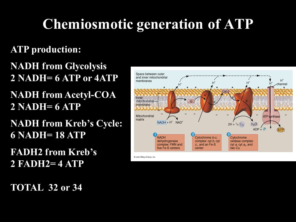 ATP production: NADH from Glycolysis 2 NADH= 6 ATP or 4ATP NADH from Acetyl-COA 2 NADH= 6 ATP NADH from Kreb's Cycle: 6 NADH= 18 ATP FADH2 from Kreb's 2 FADH2= 4 ATP TOTAL 32 or 34