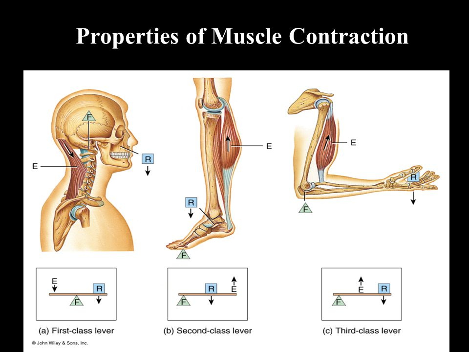 Properties of Muscle Contraction
