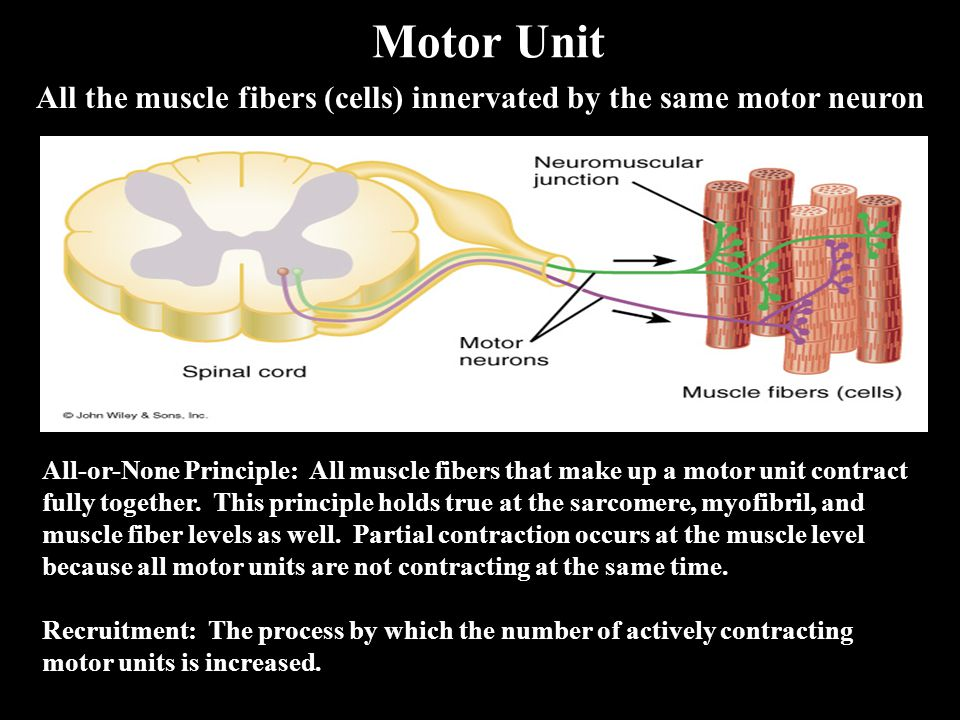 Motor Unit All the muscle fibers (cells) innervated by the same motor neuron All-or-None Principle: All muscle fibers that make up a motor unit contract fully together.