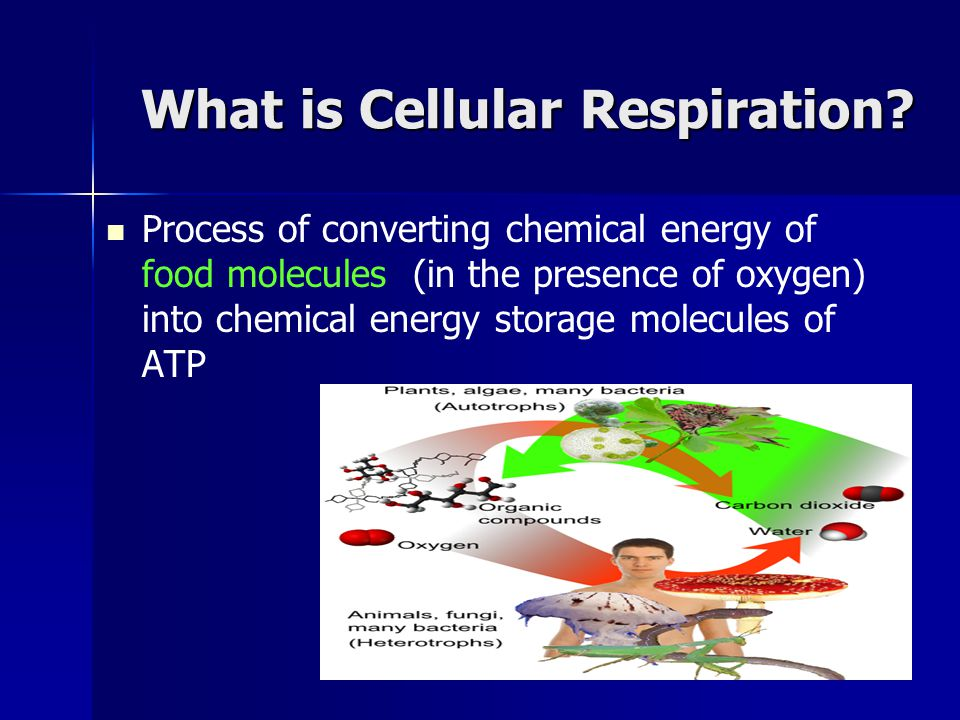 Cellular Respiration Using Oxygen to break apart food molecules (sugars) Using Oxygen to break apart food molecules (sugars) Takes place in the mitochondria Takes place in the mitochondria Produces lots of ATP and releases CO2 and H2O as byproducts Produces lots of ATP and releases CO2 and H2O as byproducts Muscles will do this as long as they don't run out of oxygen Muscles will do this as long as they don't run out of oxygen Cellular Respiration Cellular Respiration C 6 H 12 O 6 + 6O 2 --------  6H 2 O + 6CO 2 + ATP