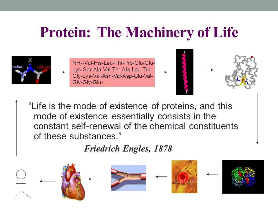 Protein: The Machinery of Life Life is the mode of existence of proteins, and this mode of existence essentially consists in the constant self-renewal of the chemical constituents of these substances. Friedrich Engles, 1878 NH 2 -Val-His-Leu-Thr-Pro-Glu-Glu- Lys-Ser-Ala-Val-Thr-Ala-Leu-Trp- Gly-Lys-Val-Asn-Val-Asp-Glu-Val- Gly-Gly-Glu-…..