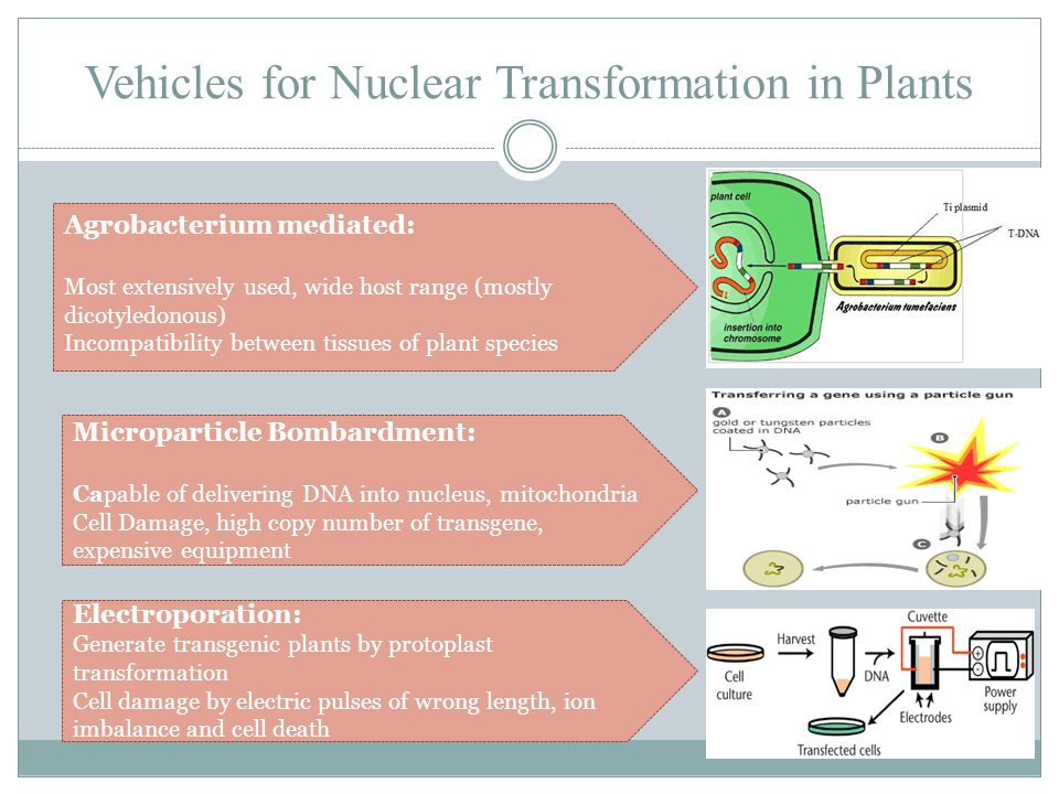 Vehicles for Nuclear Transformation in Plants Agrobacterium mediated: Most extensively used, wide host range (mostly dicotyledonous) Incompatibility b