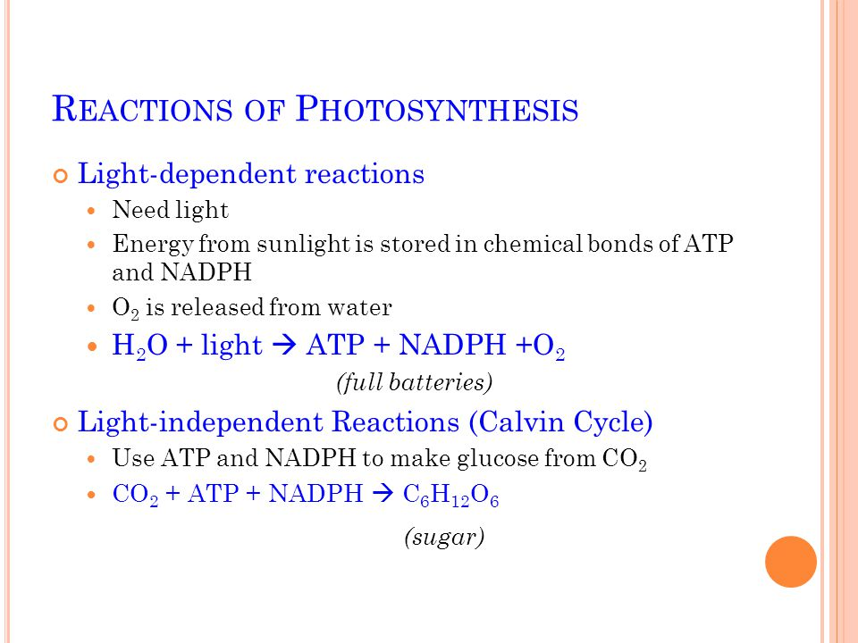 R EACTIONS OF P HOTOSYNTHESIS Light-dependent reactions Need light Energy from sunlight is stored in chemical bonds of ATP and NADPH O 2 is released from water H 2 O + light  ATP + NADPH +O 2 (full batteries) Light-independent Reactions (Calvin Cycle) Use ATP and NADPH to make glucose from CO 2 CO 2 + ATP + NADPH  C 6 H 12 O 6 (sugar)