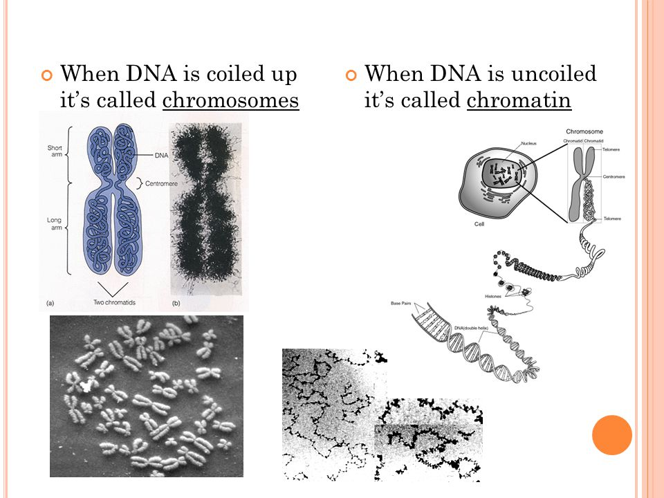 When DNA is uncoiled it's called chromatin When DNA is coiled up it's called chromosomes