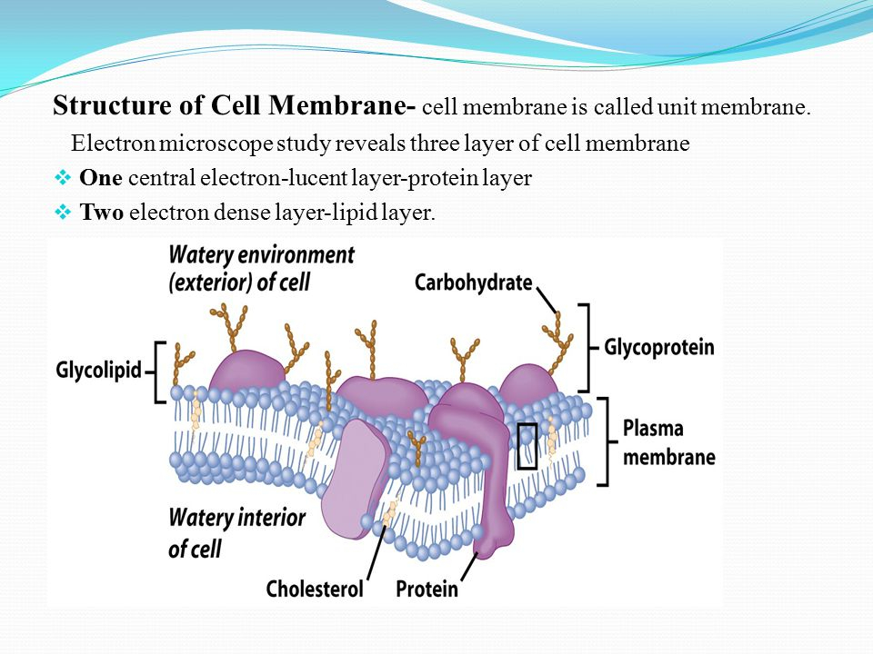 Structure of Cell Membrane- cell membrane is called unit membrane.
