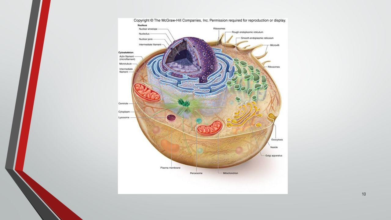 10 Eukaryotic Cells