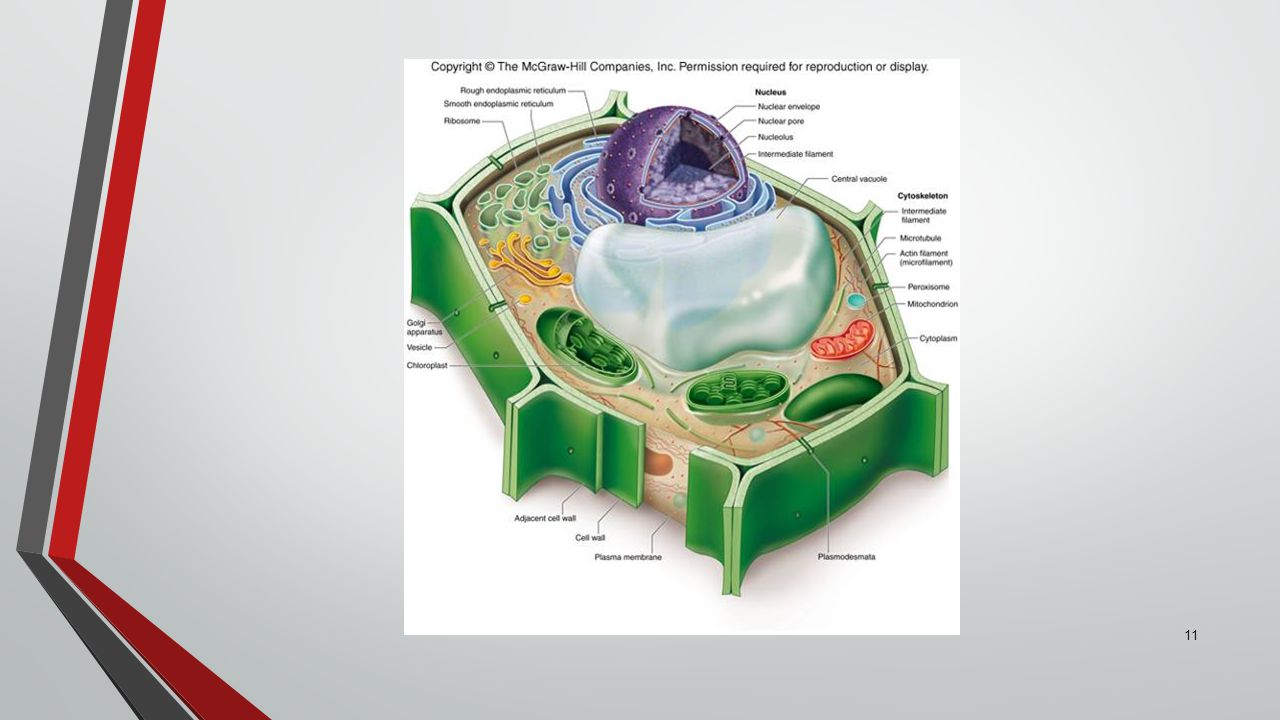 11 Eukaryotic Cells