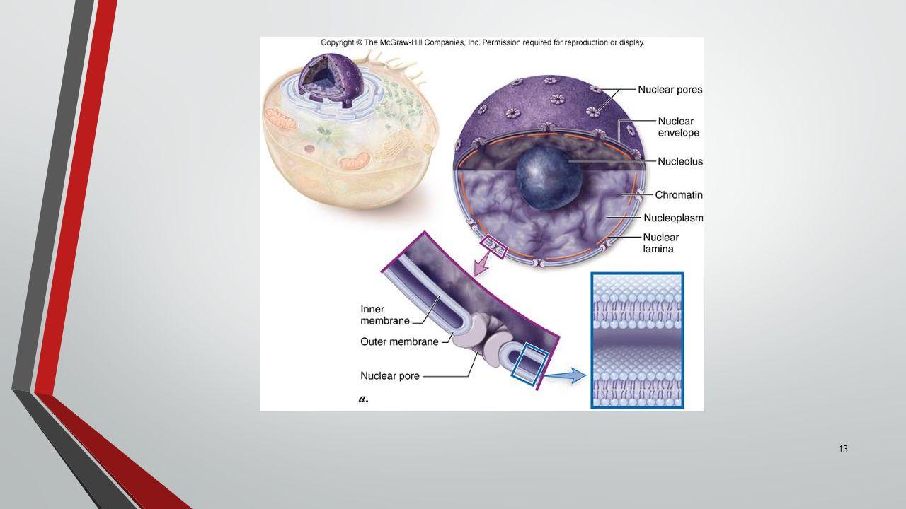 13 Eukaryotic Cells