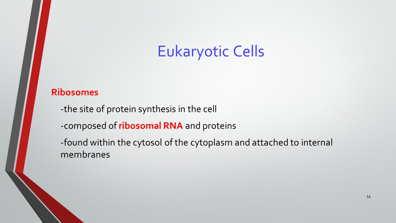 14 Eukaryotic Cells Ribosomes -the site of protein synthesis in the cell -composed of ribosomal RNA and proteins -found within the cytosol of the cyto