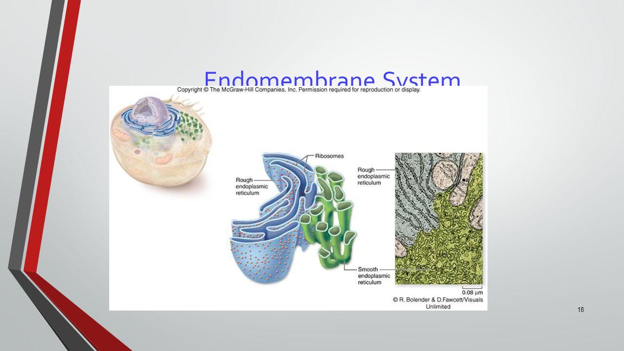 18 Endomembrane System