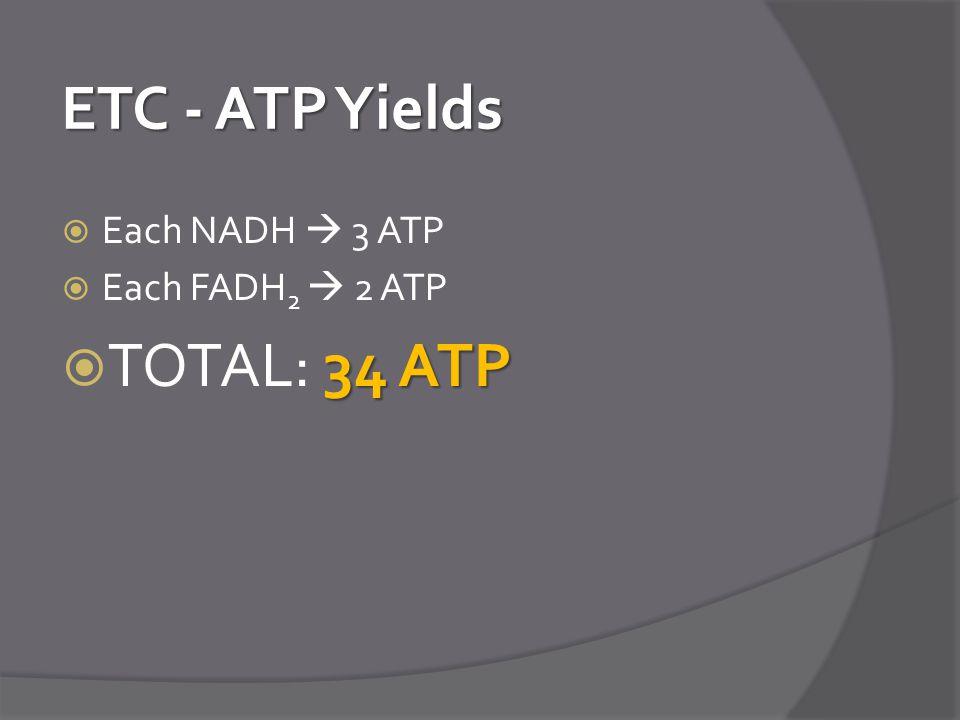 ETC - ATP Yields  Each NADH  3 ATP  Each FADH 2  2 ATP 34 ATP  TOTAL: 34 ATP