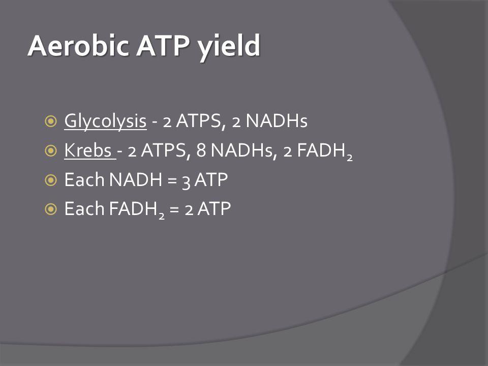 Aerobic ATP yield  Glycolysis - 2 ATPS, 2 NADHs  Krebs - 2 ATPS, 8 NADHs, 2 FADH 2  Each NADH = 3 ATP  Each FADH 2 = 2 ATP