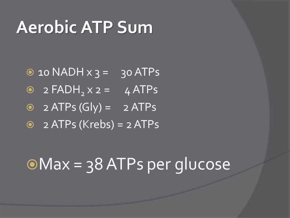 Aerobic ATP Sum  10 NADH x 3 = 30 ATPs  2 FADH 2 x 2 = 4 ATPs  2 ATPs (Gly) = 2 ATPs  2 ATPs (Krebs) = 2 ATPs  Max = 38 ATPs per glucose