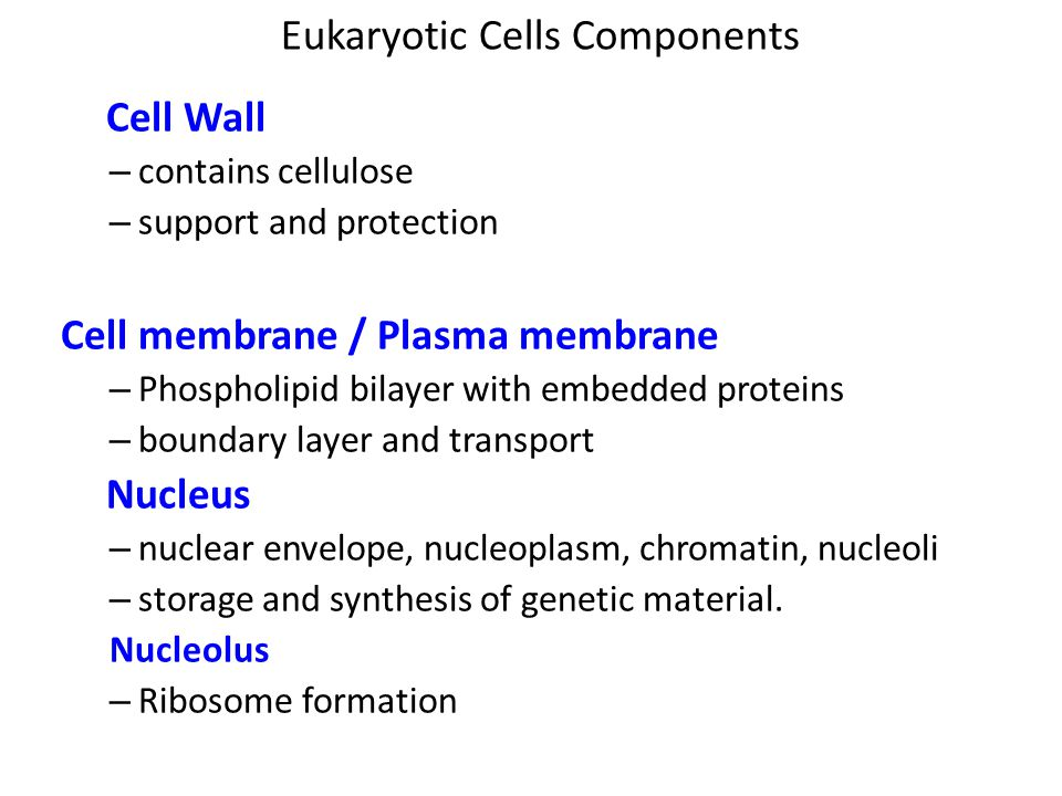 Eukaryotic Cells Components Cell Wall – contains cellulose – support and protection Cell membrane / Plasma membrane – Phospholipid bilayer with embedded proteins – boundary layer and transport Nucleus – nuclear envelope, nucleoplasm, chromatin, nucleoli – storage and synthesis of genetic material.
