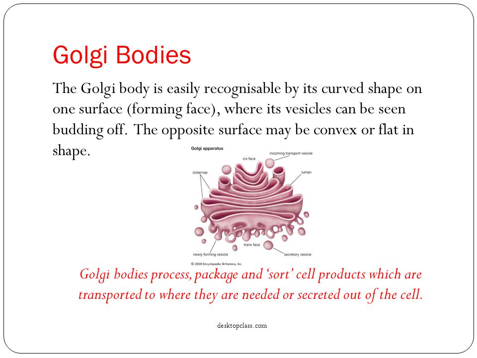 Golgi Bodies The Golgi body is easily recognisable by its curved shape on one surface (forming face), where its vesicles can be seen budding off.