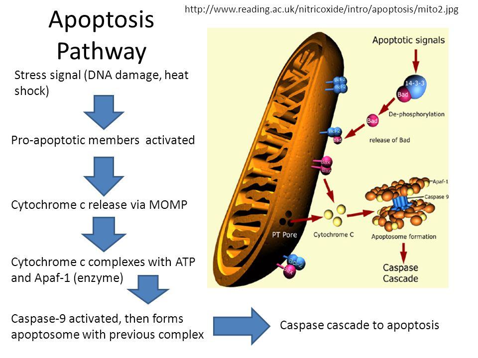 Stress signal (DNA damage, heat shock) Pro-apoptotic members activated Cytochrome c release via MOMP Cytochrome c complexes with ATP and Apaf-1 (enzyme) Caspase-9 activated, then forms apoptosome with previous complex Caspase cascade to apoptosis http://www.reading.ac.uk/nitricoxide/intro/apoptosis/mito2.jpg Apoptosis Pathway