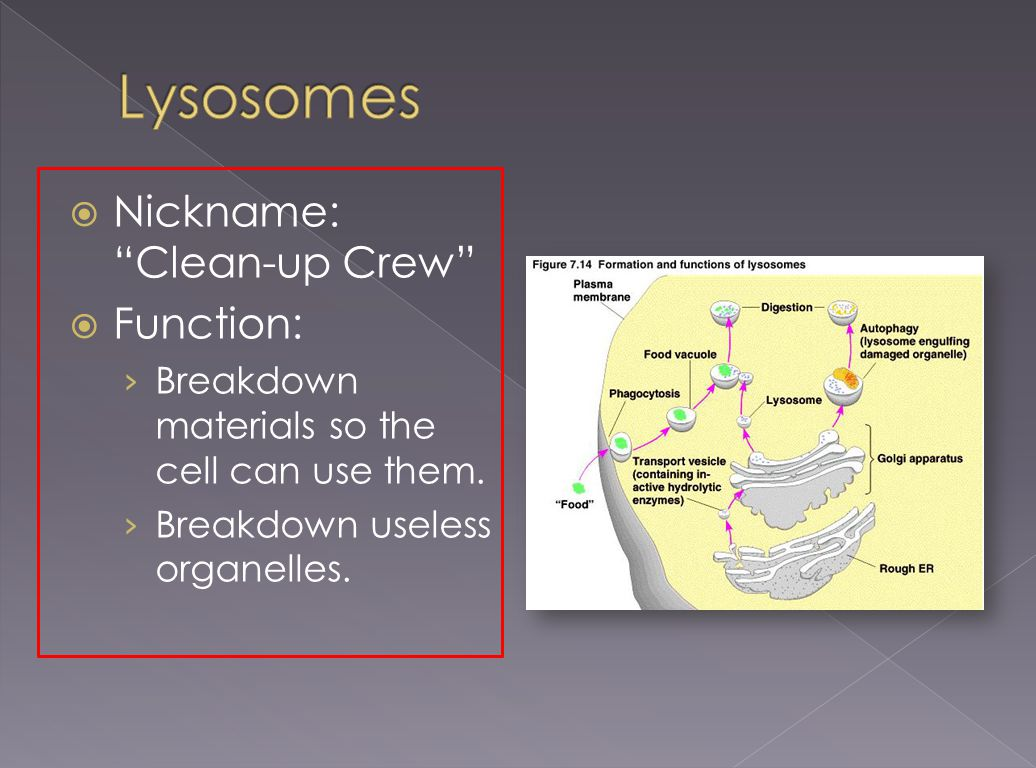 """ Nickname: """"Clean-up Crew""""  Function: › Breakdown materials so the cell can use them. › Breakdown useless organelles."""