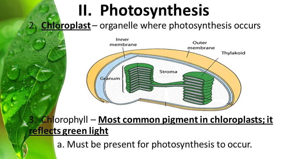 2. Chloroplast – organelle where photosynthesis occurs 3.
