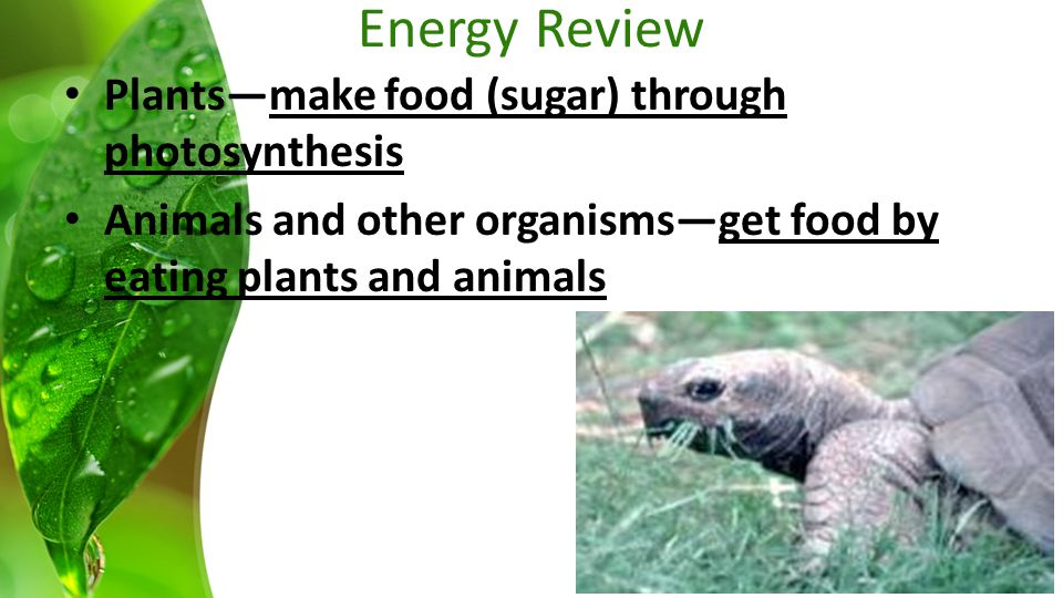 Plants—make food (sugar) through photosynthesis Animals and other organisms—get food by eating plants and animals Energy Review