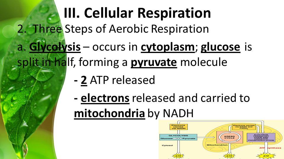 2. Three Steps of Aerobic Respiration a.