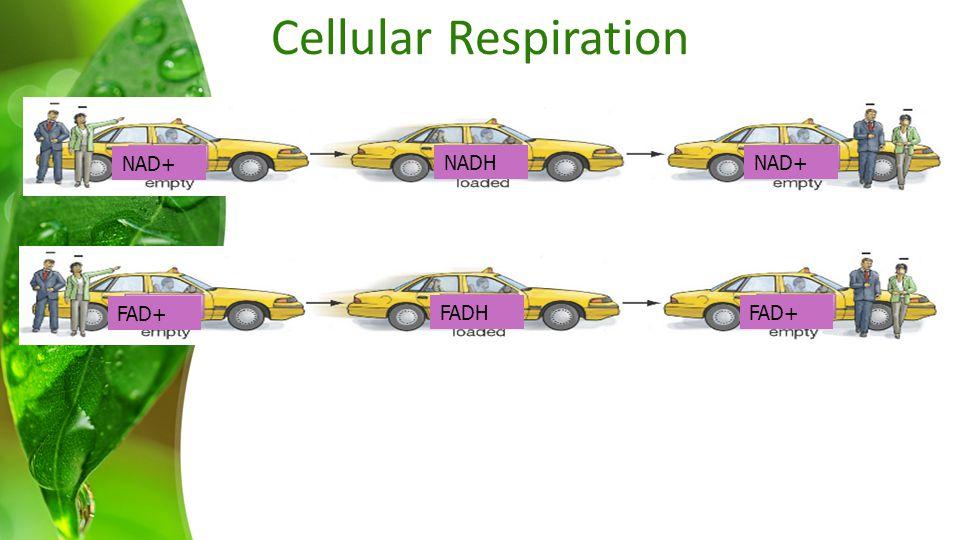 Cellular Respiration FAD+ FADHFAD+ NAD+ NADHNAD+