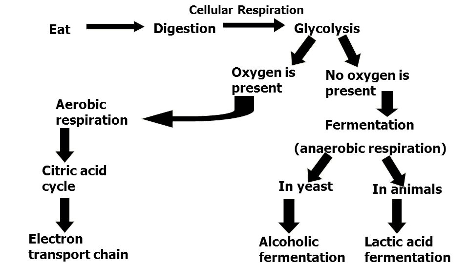 Eat DigestionGlycolysis Citric acid cycle Electron transport chain Oxygen is present No oxygen is present Fermentation (anaerobic respiration) Lactic acid fermentation Alcoholic fermentation In animals In yeast Aerobic respiration Cellular Respiration