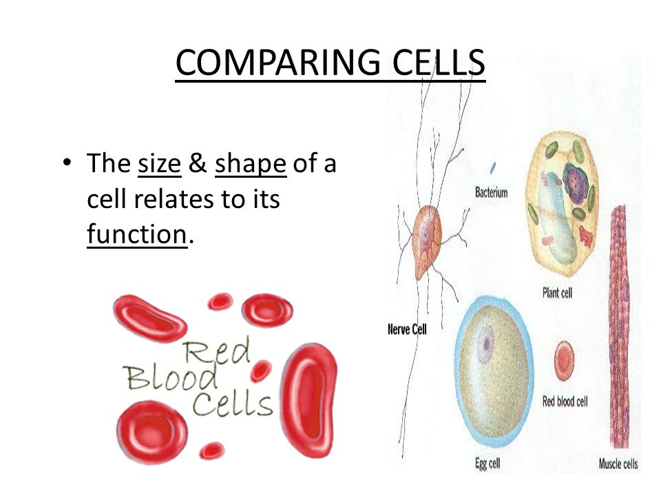 Commonalities…of all cells!! Plasma Membrane Cytoplasm Chromosomes (DNA) Ribosomes