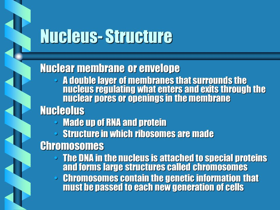Nucleus- Structure Nuclear membrane or envelope A double layer of membranes that surrounds the nucleus regulating what enters and exits through the nuclear pores or openings in the membraneA double layer of membranes that surrounds the nucleus regulating what enters and exits through the nuclear pores or openings in the membraneNucleolus Made up of RNA and proteinMade up of RNA and protein Structure in which ribosomes are madeStructure in which ribosomes are madeChromosomes The DNA in the nucleus is attached to special proteins and forms large structures called chromosomesThe DNA in the nucleus is attached to special proteins and forms large structures called chromosomes Chromosomes contain the genetic information that must be passed to each new generation of cellsChromosomes contain the genetic information that must be passed to each new generation of cells