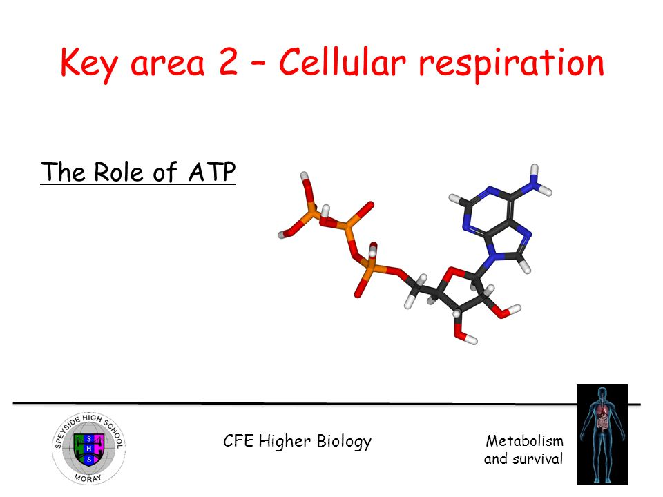 CFE Higher Biology Metabolism and survival Key area 2 – Cellular respiration The Role of ATP