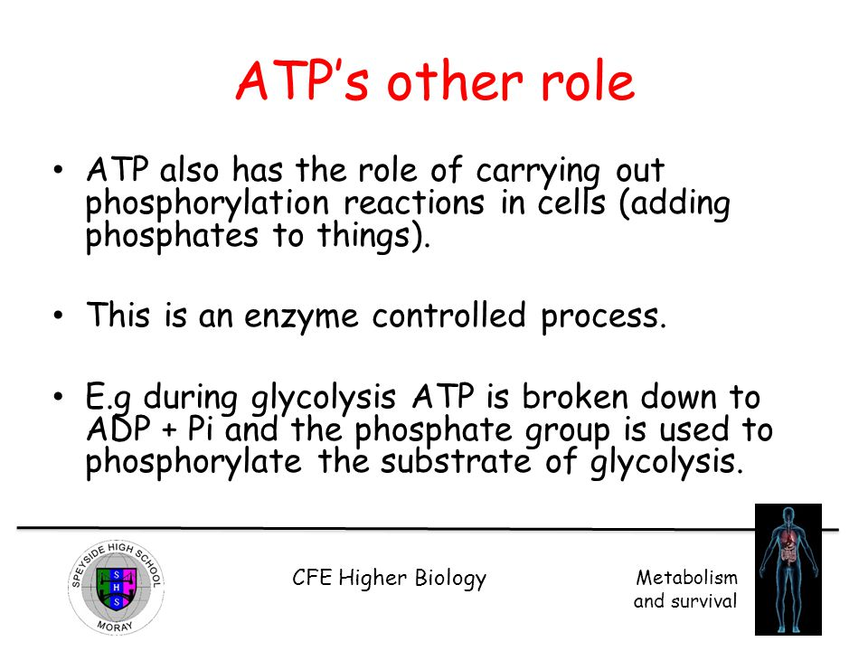 CFE Higher Biology Metabolism and survival ATP's other role ATP also has the role of carrying out phosphorylation reactions in cells (adding phosphate