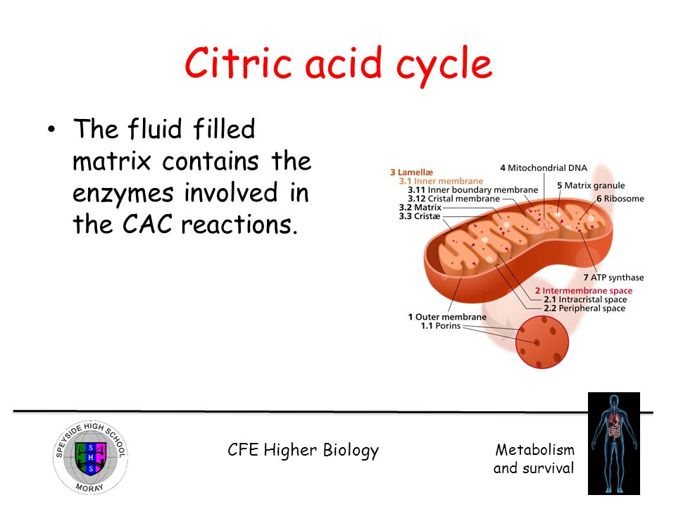 CFE Higher Biology Metabolism and survival Citric acid cycle The fluid filled matrix contains the enzymes involved in the CAC reactions.