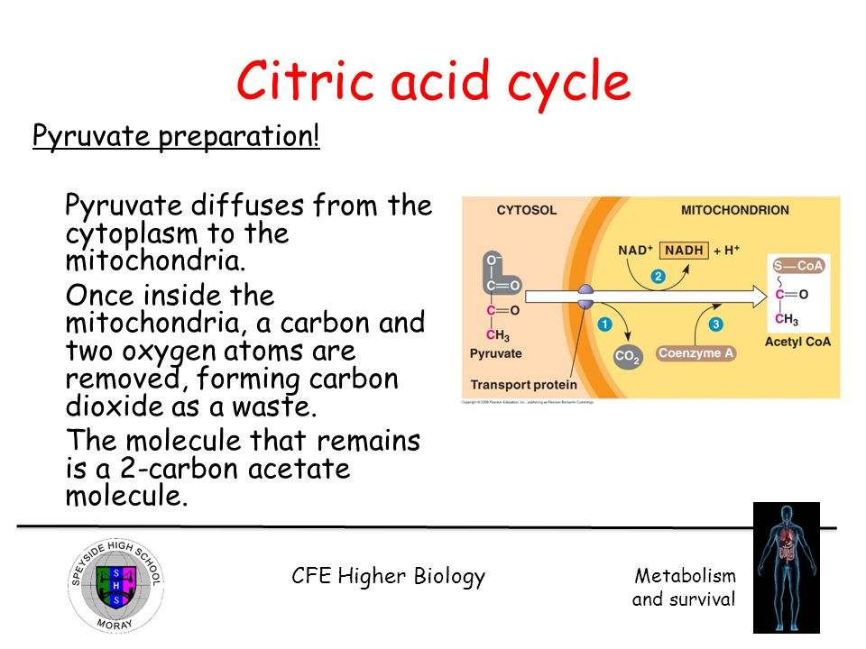 CFE Higher Biology Metabolism and survival Citric acid cycle Pyruvate preparation! Pyruvate diffuses from the cytoplasm to the mitochondria. Once insi