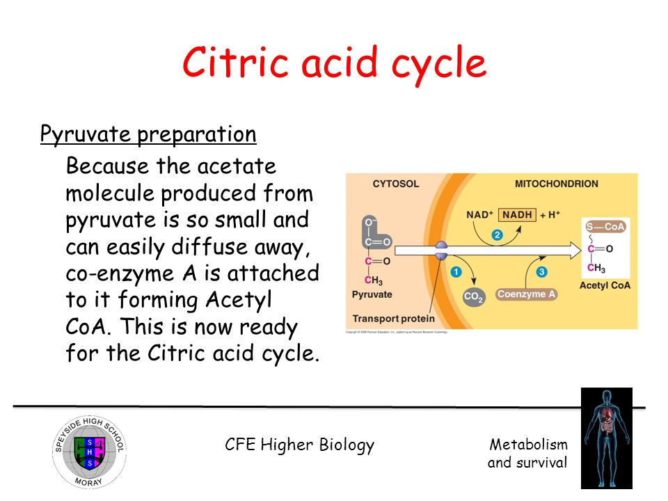 CFE Higher Biology Metabolism and survival Citric acid cycle Pyruvate preparation Because the acetate molecule produced from pyruvate is so small and