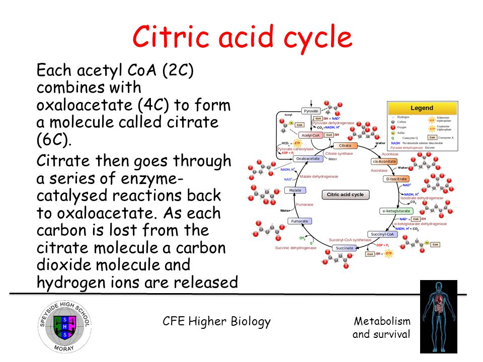 CFE Higher Biology Metabolism and survival Citric acid cycle Each acetyl CoA (2C) combines with oxaloacetate (4C) to form a molecule called citrate (6