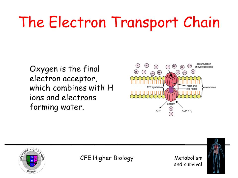 CFE Higher Biology Metabolism and survival The Electron Transport Chain Oxygen is the final electron acceptor, which combines with H ions and electron
