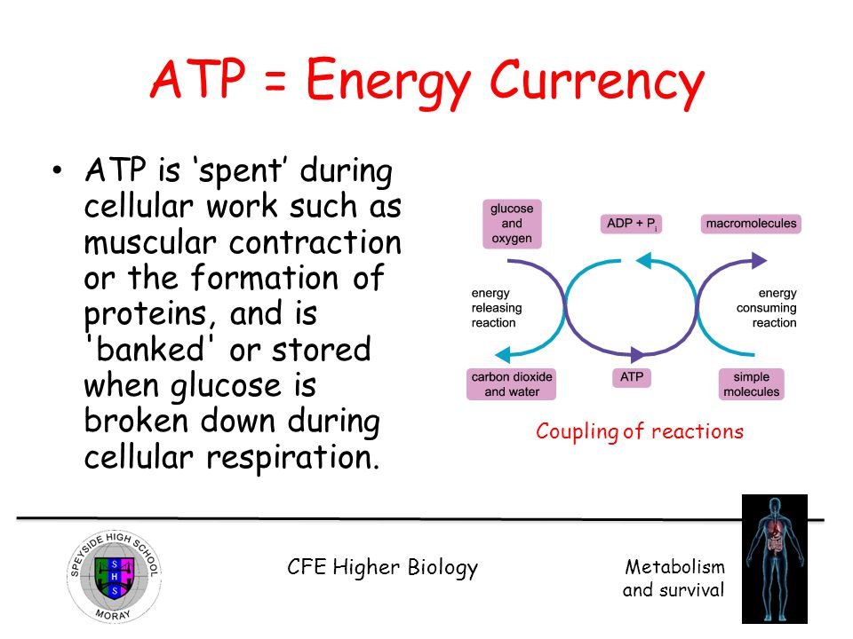 CFE Higher Biology Metabolism and survival ATP – crash course video http://www.youtube.com/watch?v=00jb G_cfGuQ http://www.youtube.com/watch?v=00jb G_cfGuQ Watch the first 4 minutes